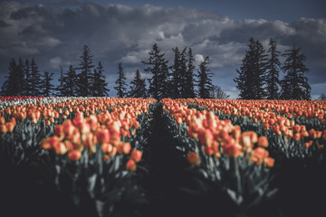 Mood and dramatic light and weather over field of tulips and trees in Oregon