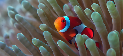 Poster Coral reefs clown fish coral reef / macro underwater scene, view of coral fish, underwater diving