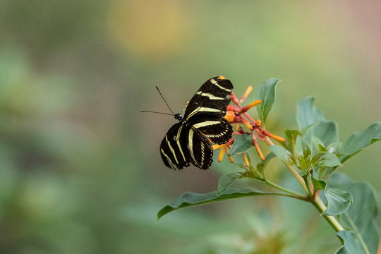 Zebra longwing butterfly, Heliconius charitonius, in a botanical garden