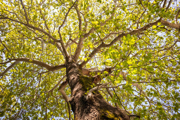 Plane tree foliage in springtime. Fresh green leaves, high angle view, blue sky background