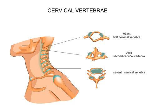structure of the cervical vertebrae