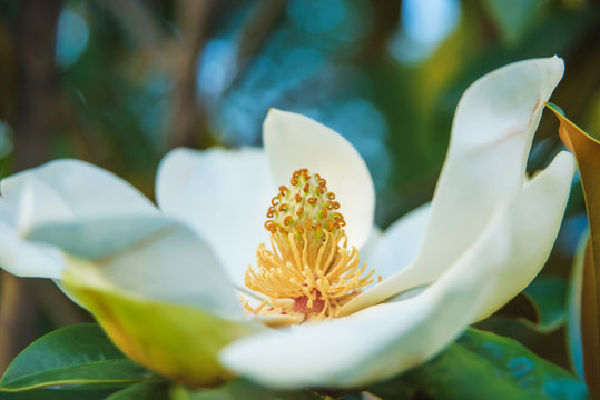 Classic magnolia tree. Magnolia grandiflora flower close up. Flowering tree in the seaside climate.