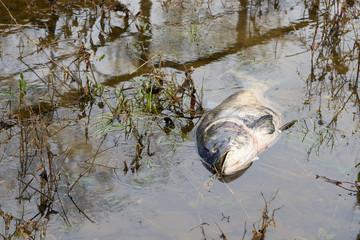 Toter Marmorkarpfen in einem Seitenfluss der Elbe in Glindenberg bei Magdeburg