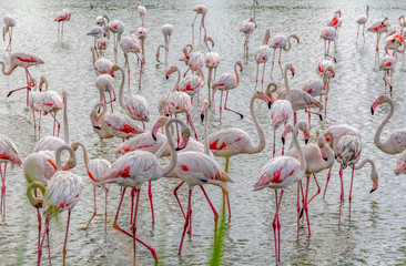 lots of Flamingoes