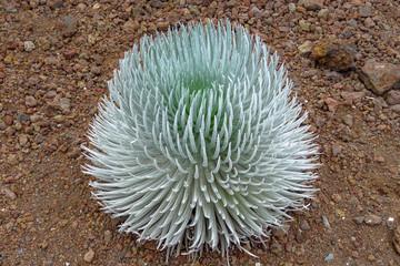 Haleakala silversword (Argyroxiphium sandwicense), rare and endangered plant growing at the summit of Haleakala volcano. Endemic to Maui, Hawaii. Ahinahina in Hawaiian language