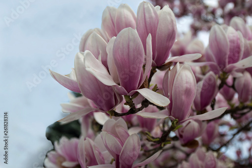 Closeup Of Magnolia Tree Blossom With Blurred Backgroundbeautiful