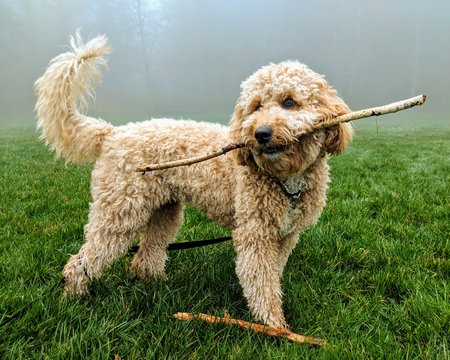 Labradoodle with stick