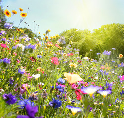 wildblumenwiese natur sonne