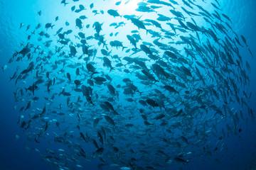A large school of Bigeye jacks, Caranx sexfasciatus, swims in Palau. Wall mural