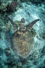 A Hawksbill sea turtle, Eretmochelys imbricata, swims in Komodo, Indonesia.