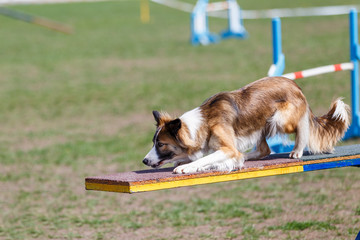 Border Collie on the seesaw obstacle on dog agility sport competition