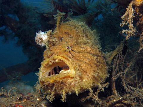 Underwater world - Antennarius hispidus - Shaggy angler (frogfish). Lembeh srait, Indonesia.