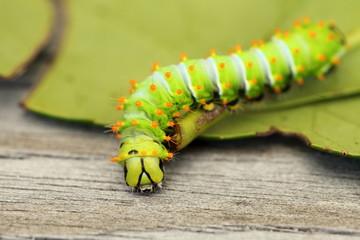 Schmetterlingsraupe auf grünem Blatt