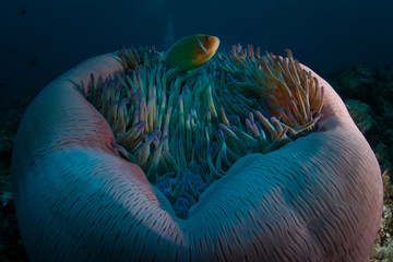 A Pink anemonefish swims among the tentacles of its host anemone in Palau.