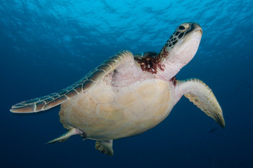 A  Green sea turtle, Chelonia mydas, swims in Palau.