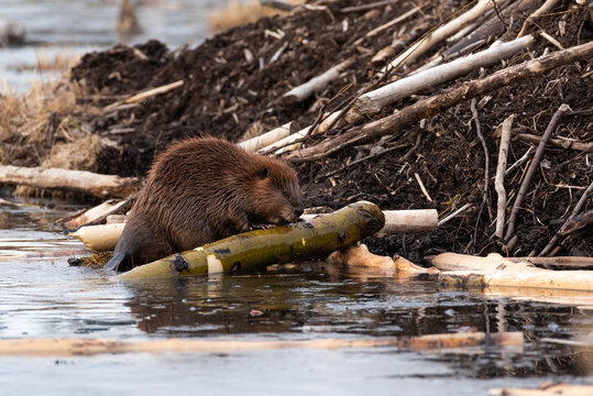 A large castor canadensis beaver chewing on popular branch