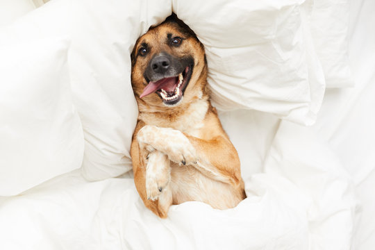 Top view portrait of funny dog lying on pillow in bed wrapped in fluffy white blanket, copy space