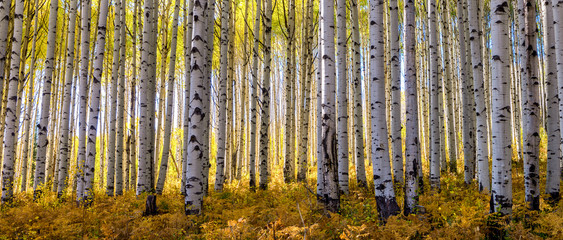 Obraz Golden grove of aspen trees taken during peak fall colors in the Rocky Mouintinas of Colorado fills out this wide panoramic shot - fototapety do salonu