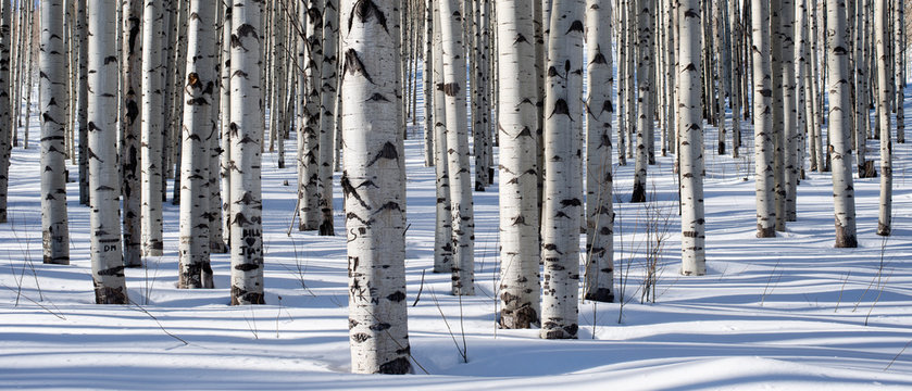 Panoramic shot of winter aspen trees taken deep in the heart of the Rocky Mountains of Colorado. The white tree trunks play perfect harmony with the cold, crisp snow.