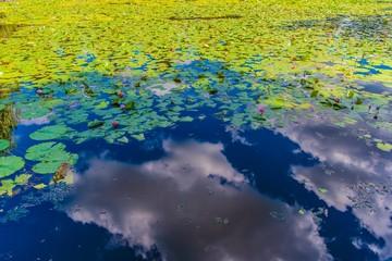 ハス池の水面