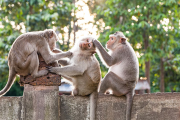 Monkeys checking for fleas and ticks on concrete fence in the park