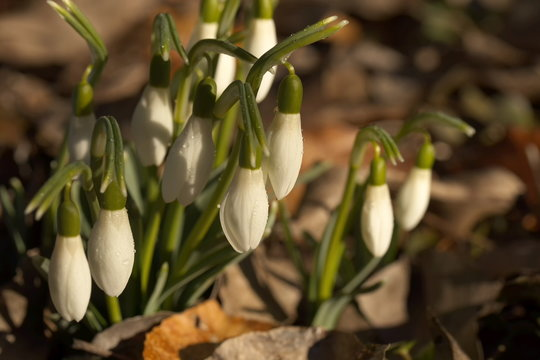 A bundle of snowdrops with closed drop-shaped blossoms standing in sunshine in a mulch