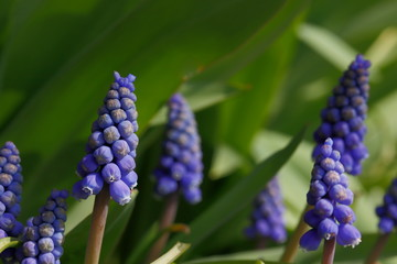 A bundle of garden grape-hyacinth muscari armeniacum