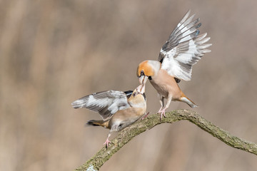 Hawfinch (Coccothraustes coccothraustes) fighting