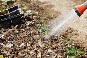 Gardener watering freshly planted seedlings in garden bed for growth boost with shower watering gun.