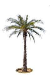 Palm tree isolated on white background.Clipping path.