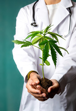 Scientist holding a marijuana branch close up