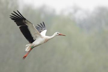 White stork in the rain Fototapete
