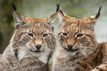 Wall Murals Lynx Lynx in the forest