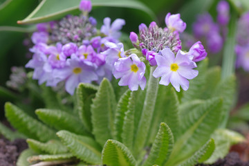 purple primula flowers in the garden