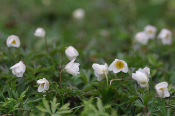 white anemone flowers in green grass