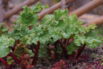 The fresh rhubarb in the garden