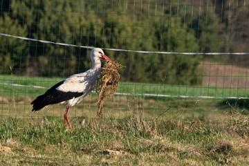 Bocian zbierający budulec na gniazdo ze suchą trawą w dziobie