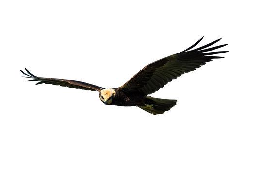 Bird of prey. Isolated bird. White background. Bird: Western Marsh Harrier. Circus aeruginosus.