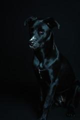Dark image of a black model dog in a black background