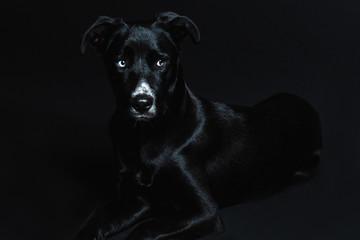Black elegant dog laying down in a dark background