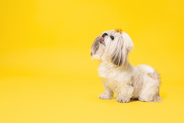 Wall Mural - Shih-tzu puppy wearing orange bow. Cute doggy or pet is standing isolated on yellow background. The Chrysanthemum Dog. Negative space to insert your text or image.