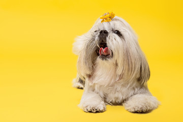 Shih-tzu puppy wearing orange bow. Cute doggy or pet is lying isolated on yellow background. The Chrysanthemum Dog. Negative space to insert your text or image. Fototapete