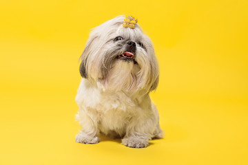 Wall Mural - Shih-tzu puppy wearing orange bow. Cute doggy or pet is lying isolated on yellow background. The Chrysanthemum Dog. Negative space to insert your text or image.