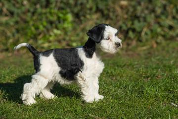 Toy schnauzer dog in a meadow