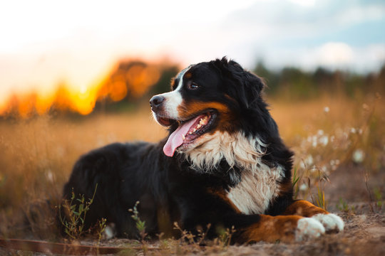 Side view at bernese mountain dog walking outdoor