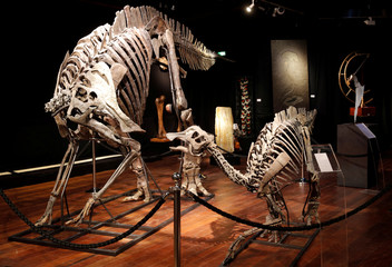 Two massive skeletons of Hypacrosaurus dinosaurs, staged in a family scene, the adult and the child lived during the Upper Cretaceous (72-70 million years) in Montana, are displayed before a sale by Binoche et Giquello in Paris