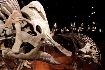 Two massive skeletons of Hypocratausorus, staged in a family scene, the adult and the child lived during the Upper Cretaceous (72-70 million years) in Montana, are displayed before a sale by Binoche et Giquello auction house in Paris