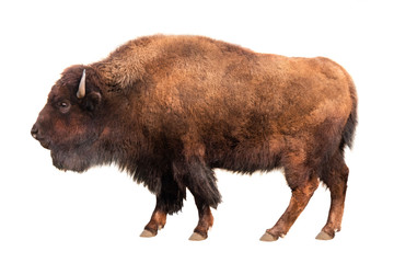 Tuinposter Buffel bison isolated on white
