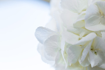 Printed kitchen splashbacks Hydrangea closeup white hydrangea petals. Event decoration with fresh flowers