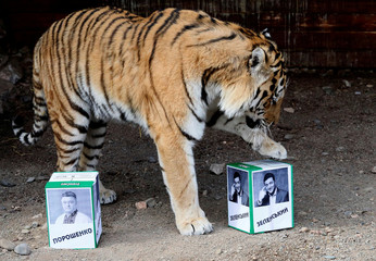 A tiger attempts to predict the winner of Ukraine's presidential election at a zoo in Krasnoyarsk